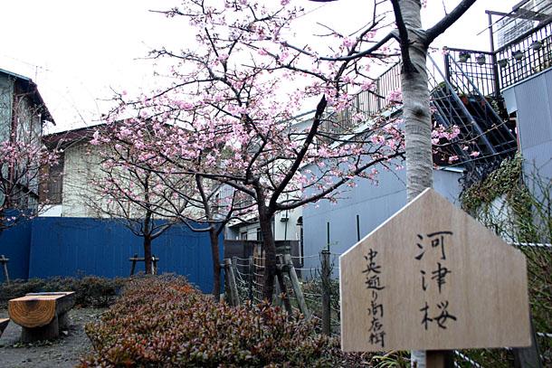川越の河津桜