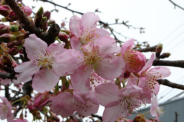 濃いピンク色の花びらの「河津桜」