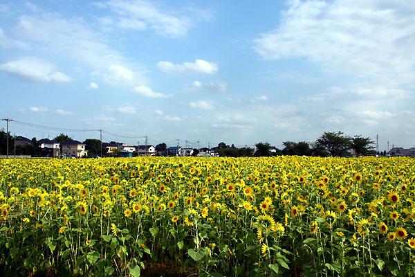 伊佐沼のひまわり畑