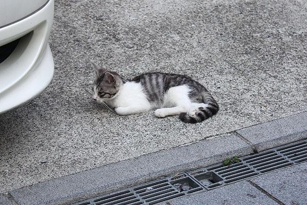 蔵の町の子猫