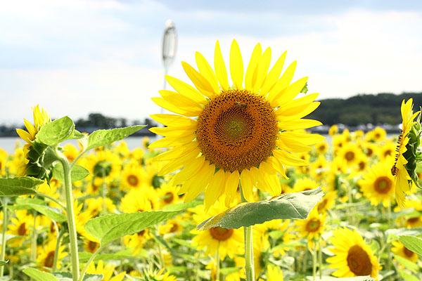 夏の終りのひまわり畑