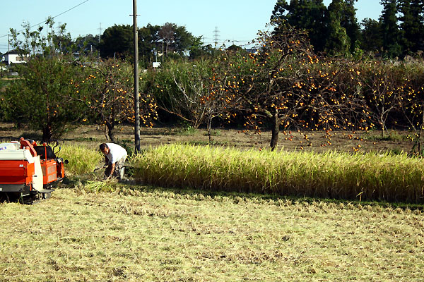 稲刈り真っ盛り