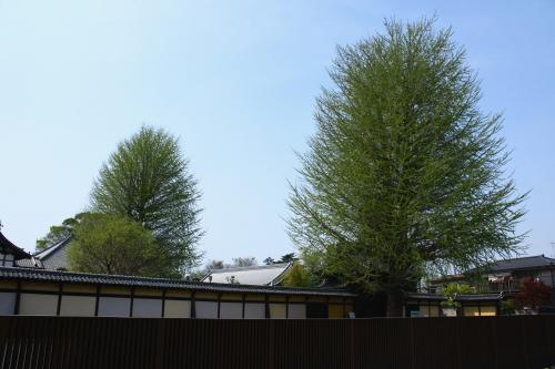 養寿院のイチョウの樹