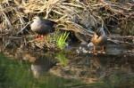 新河岸川の鳥たち