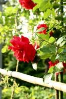 バラの小径
