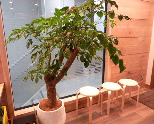 BAIGE CAFE 植木鉢
