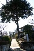 大きくて立派な杉の木