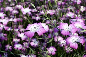 薄紫色の花